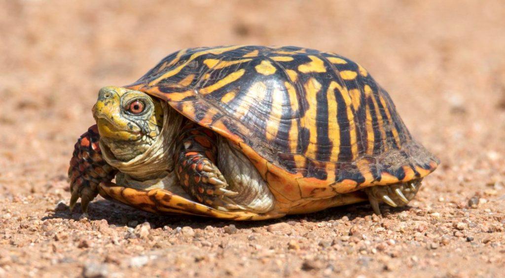 terrapene ornata macho
