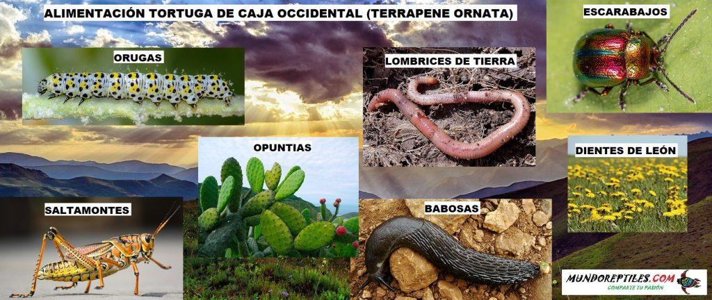 alimentación tortuga de caja occidental o terrapene ornata