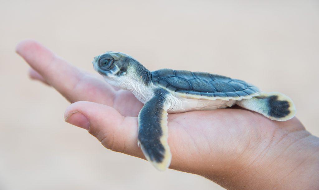 bebe de tortuga plana o tortuga australiana. Natator depressus