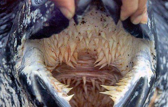 las tortugas no tienen dientes
