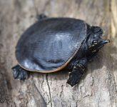 Tortuga de caparazón blando de Florida (Apalone ferox)