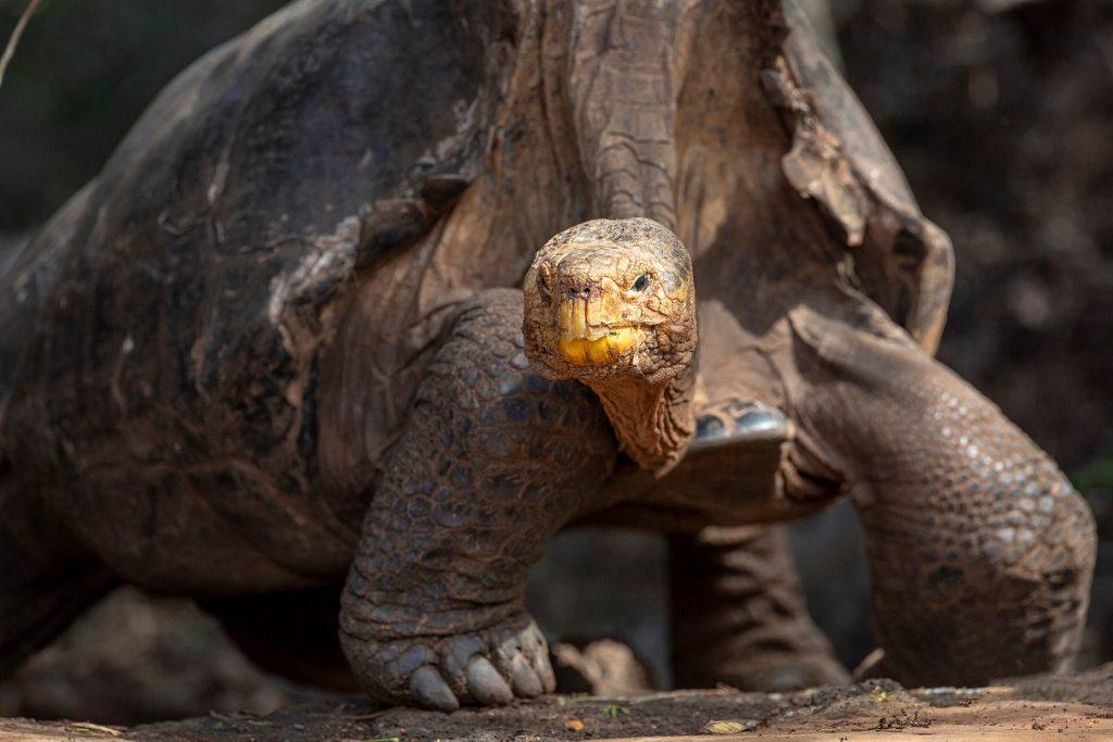 la tortuga de tierra más grande del mundo