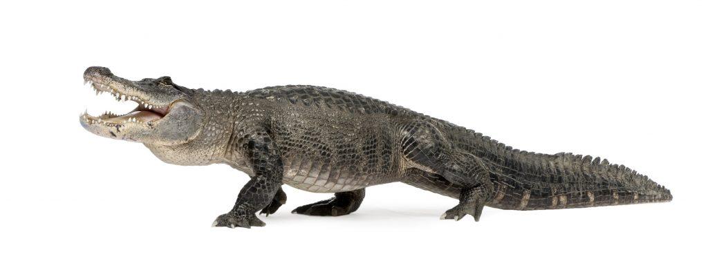 ejemplar adulto de caimán de Florida o Alligator mississippiensis