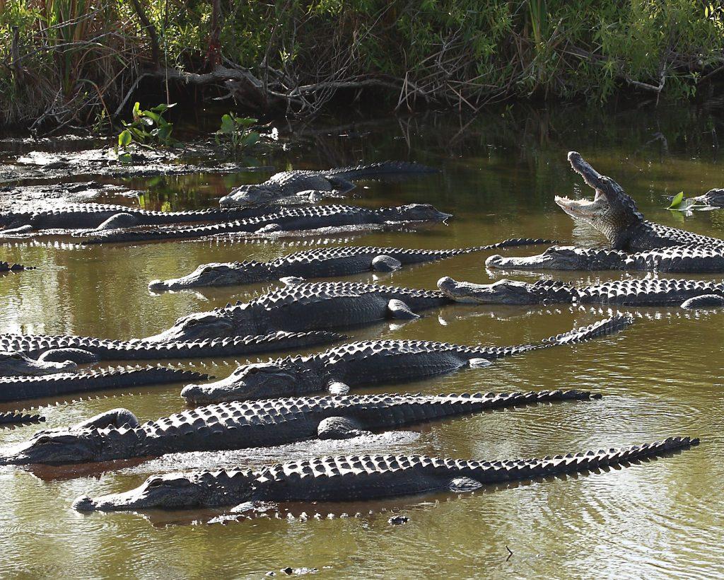 grupo de caimanes americanos o Alligator mississippiensis
