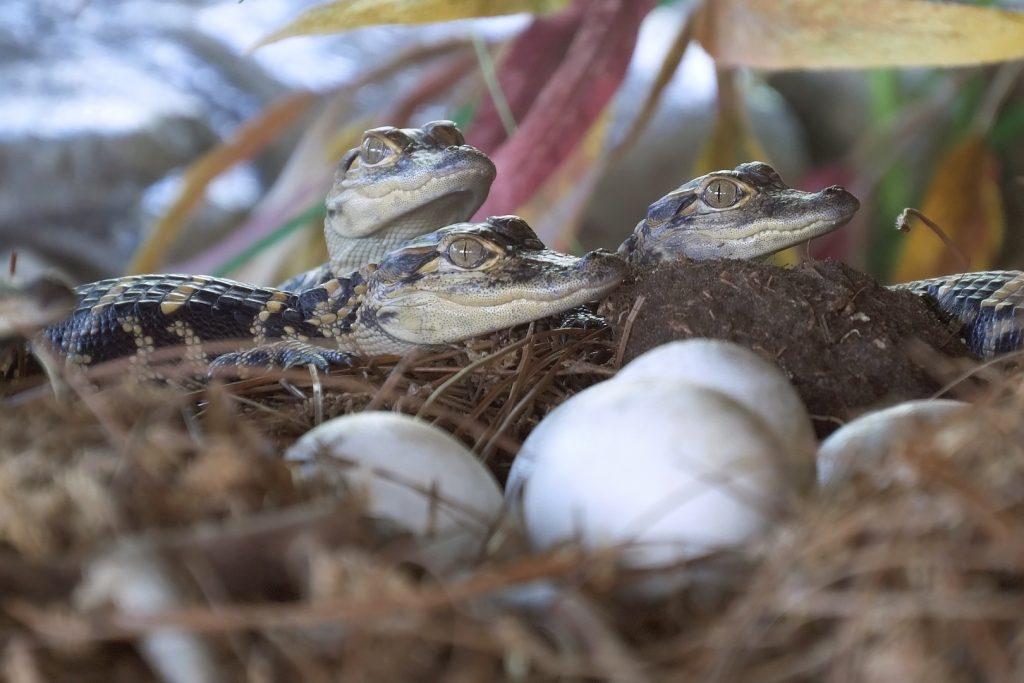 Crias y huevos de aligátor americano   o Alligator mississippiensis
