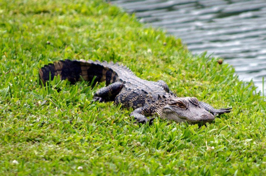 Aligátor americano o Alligator mississippiensis en la orilla de un rio