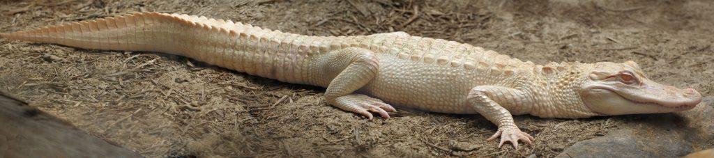 ejemplar albino de caimán aligátor americano
