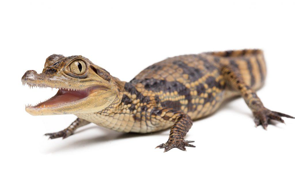 Bebe de Aligátor americano Alligator mississippiensis
