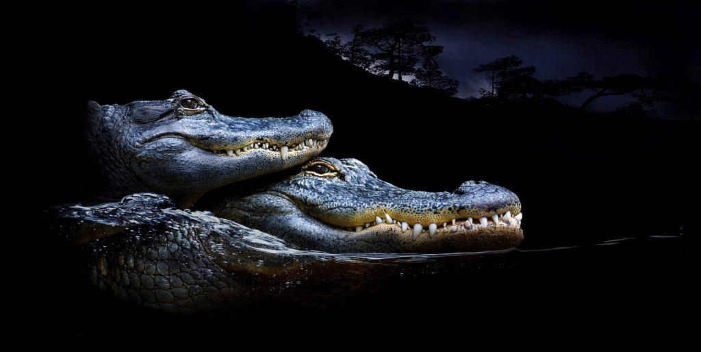 Dos caimanes en la noche, aligátor americano o Alligator mississippiensis