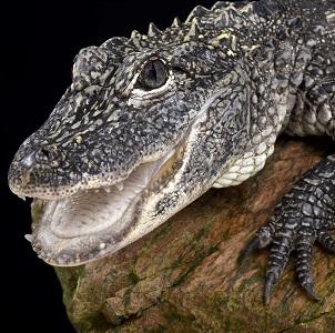 Aligátor chino o aligátor del Yangtze (Alligator sinensis)