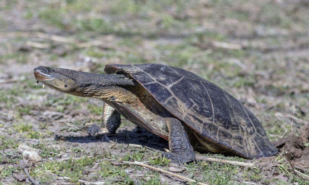 tortuga cabeza de sapo de Hilaire poniendo huevos