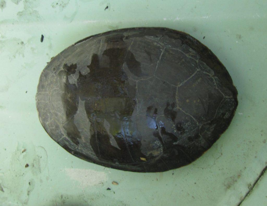 caparazón de la tortuga sudamericana de arroyo o Phrynops hilarii