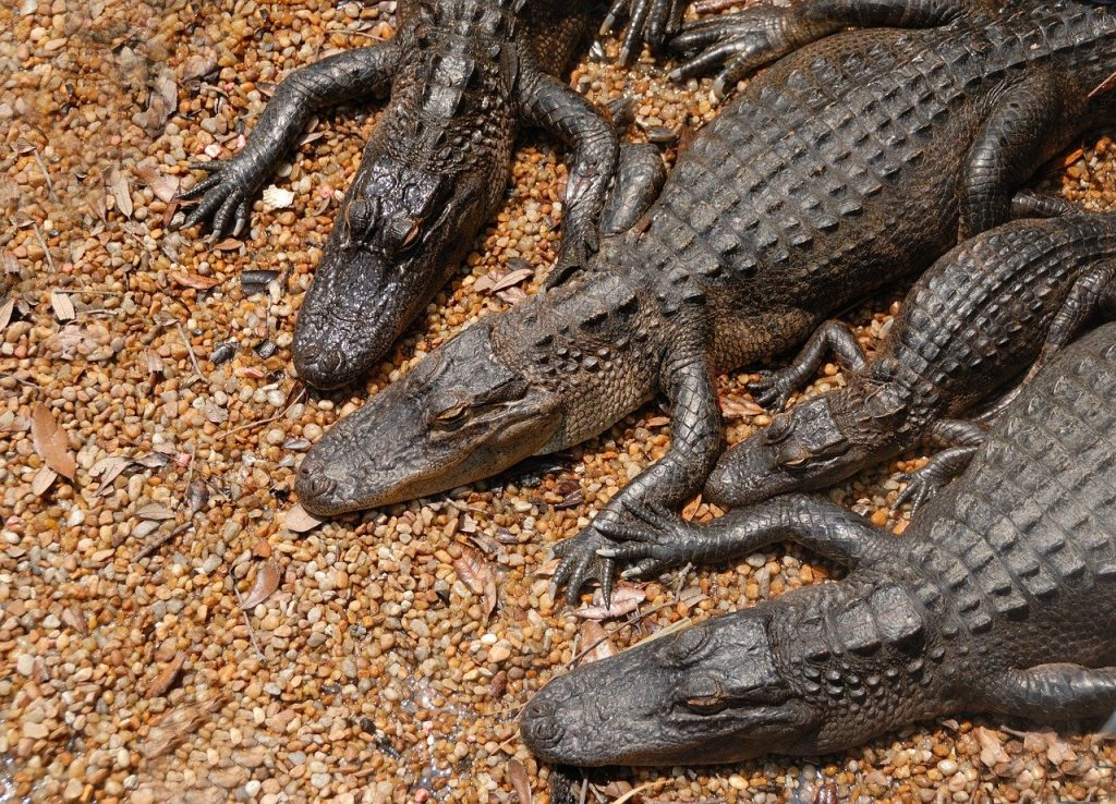 caimán americano o aligator de Mississippi