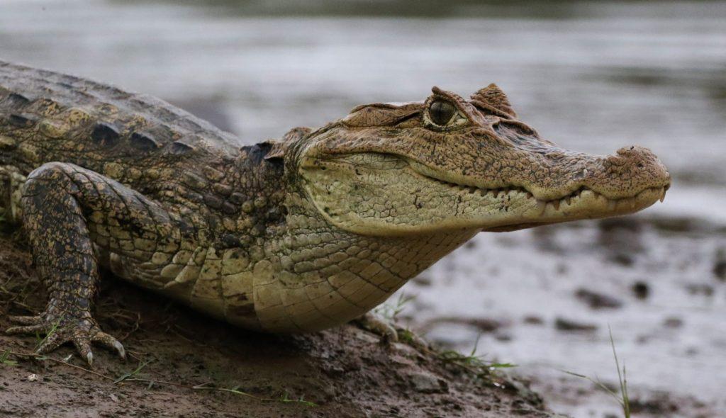 caimán crocodilus anteojos baba