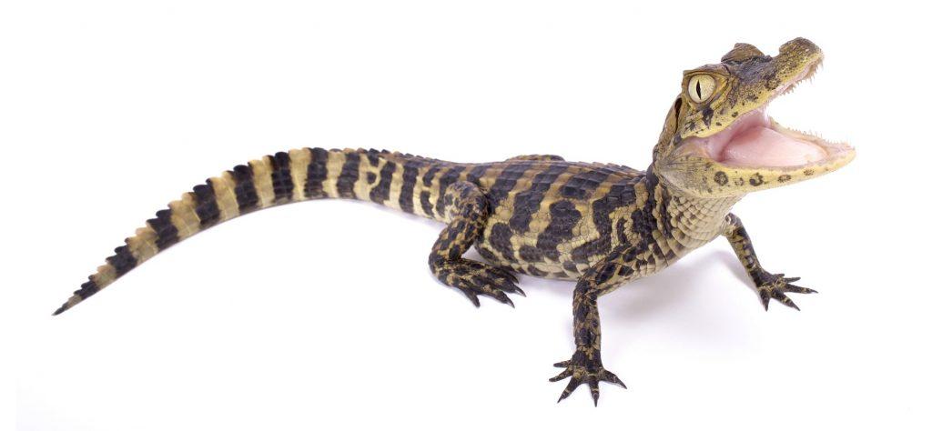 bebe de yacaré overo o caimán de morro ancho