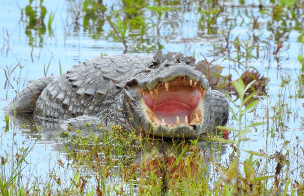 adulto de caimán de hocico ancho o caimán latirostris