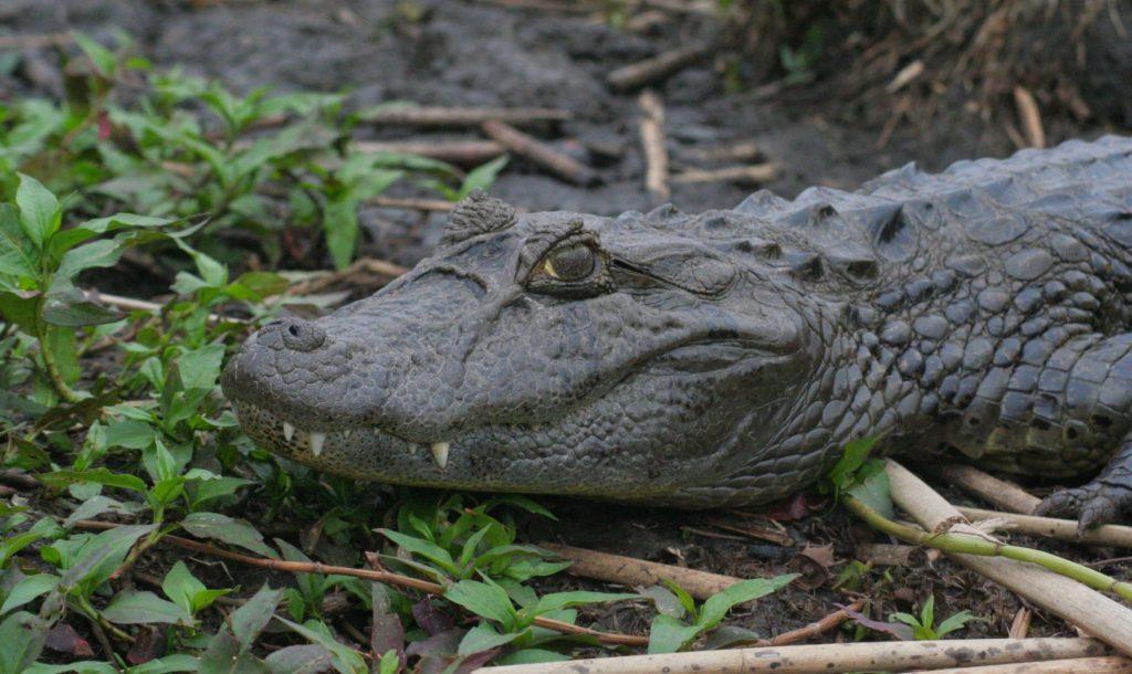 Cabeza del caimán de hocico o morro ancho