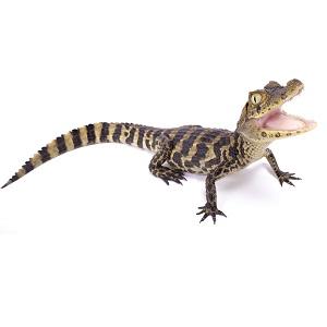 Yacaré overo (Caiman latirostris)