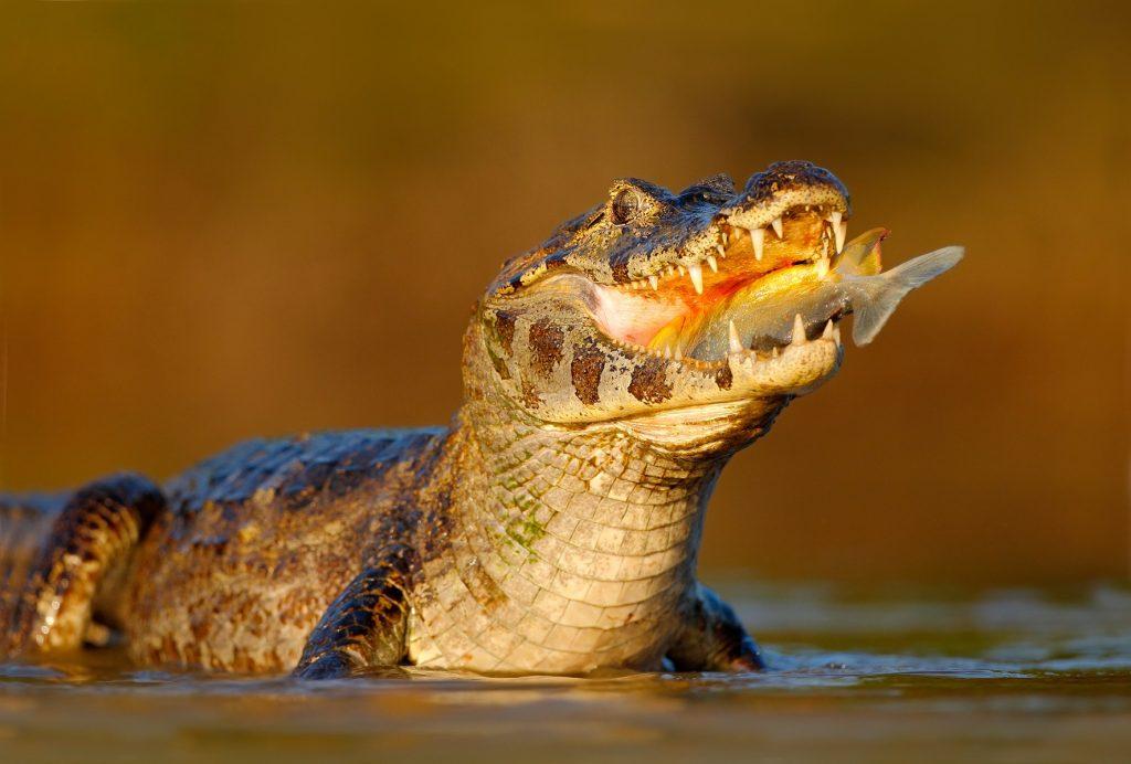 caiman yacaré o caimán del para comiendo