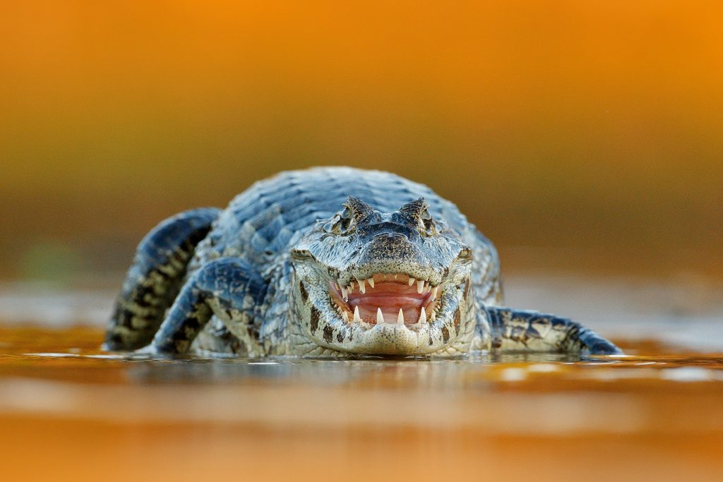 caimán yacaré en Argentina