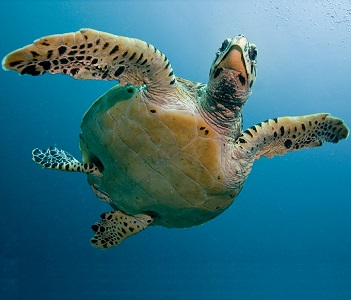 como respiran las tortugas marinas
