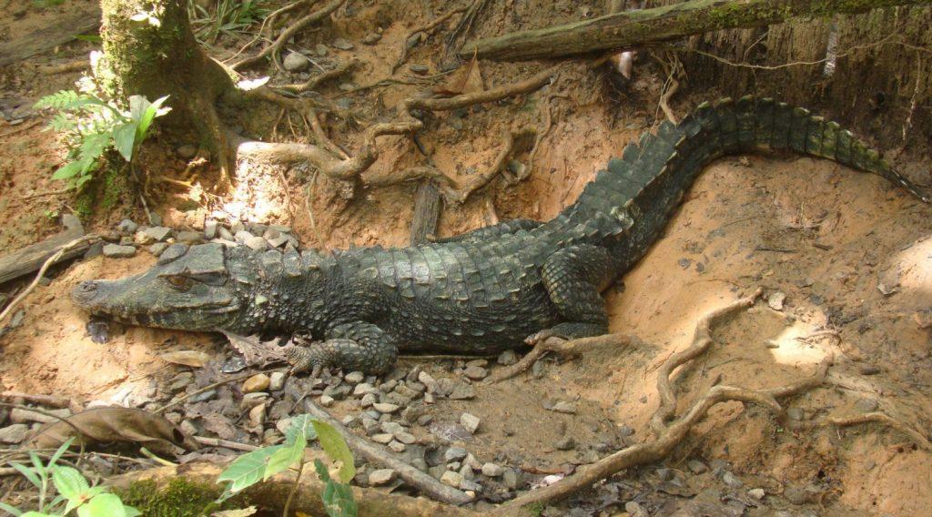 Paleosuchus trigonatus en el bosque
