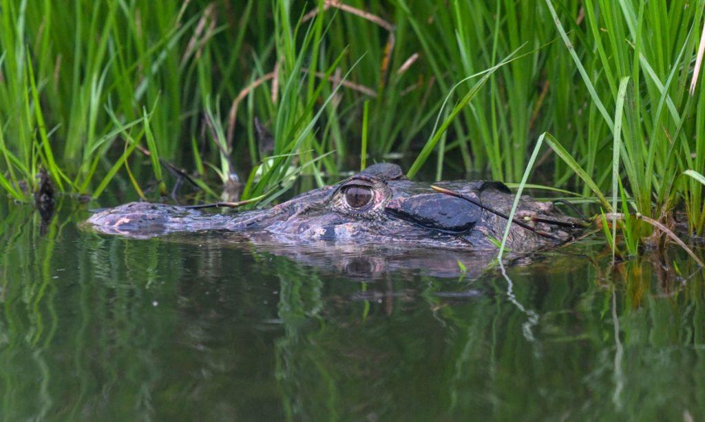 caimán negro bajo el agua