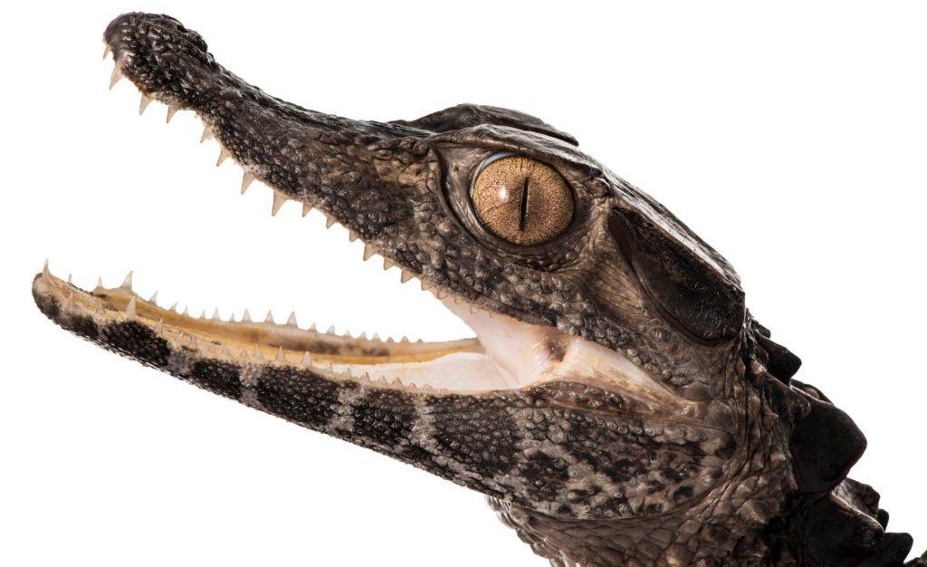 cabeza de caimán postruso