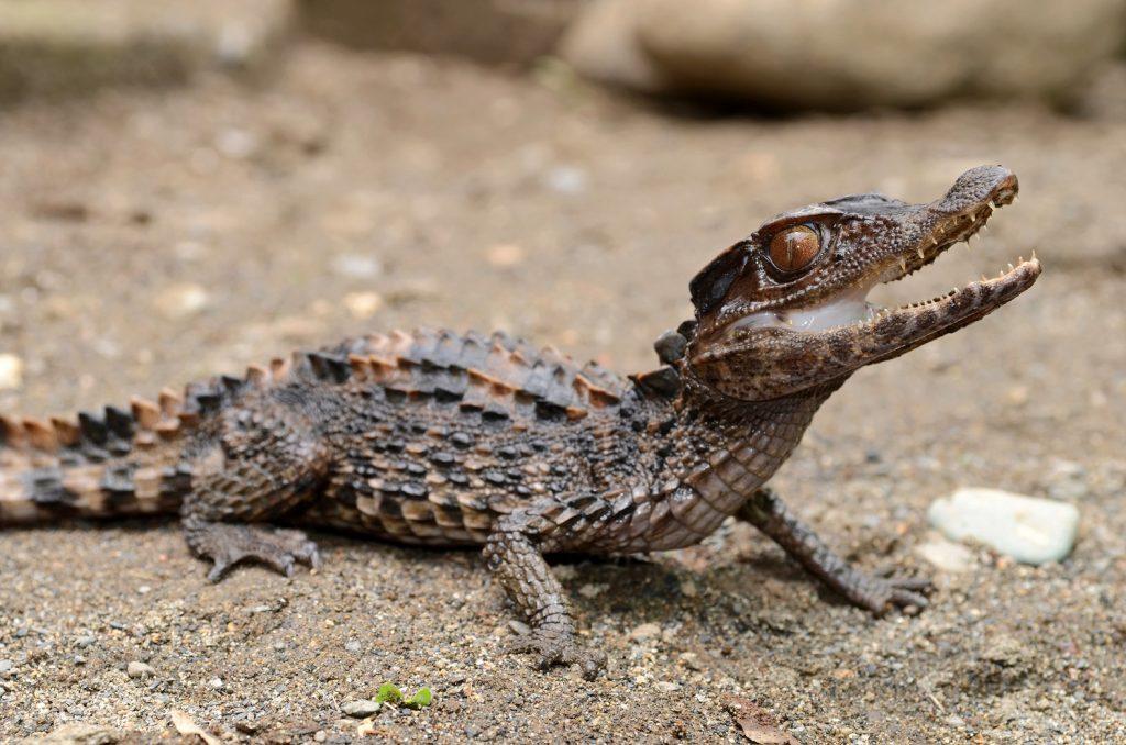 cría joven de Paleosuchus trigonatus