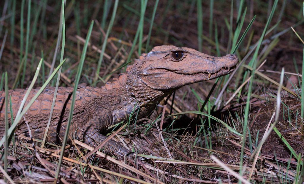 Paleosuchus palpebrosus