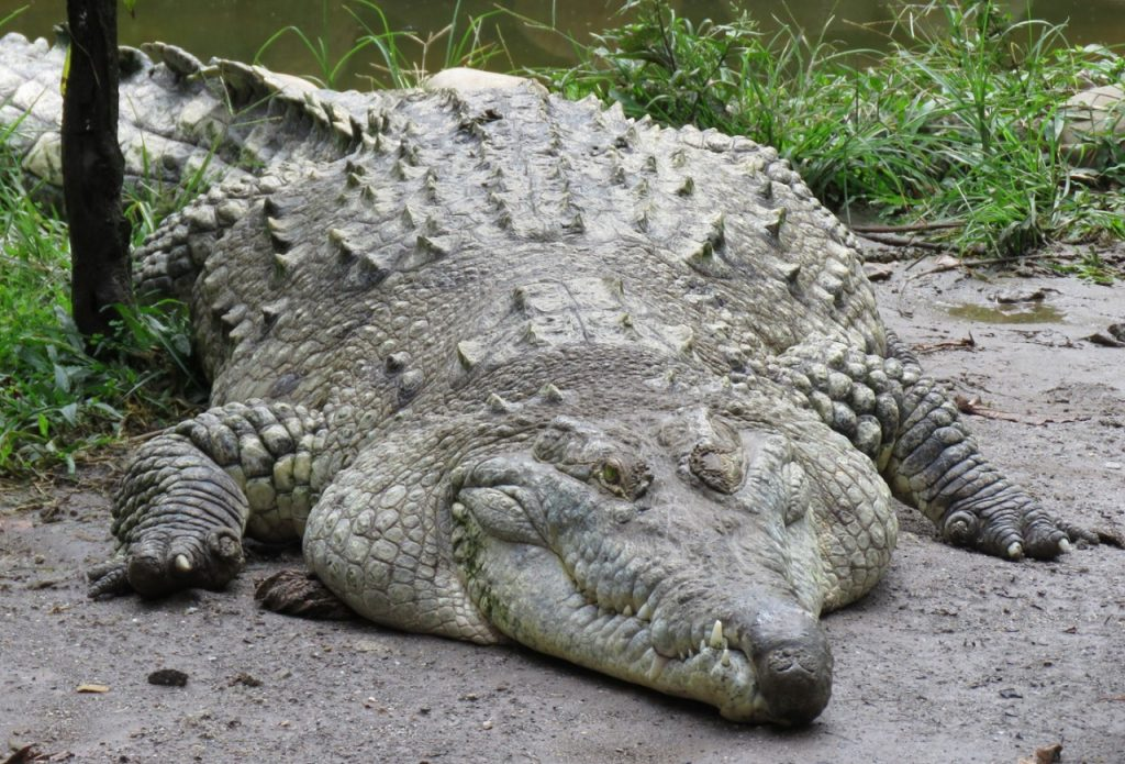 ejemplar adulto Crocodylus intermedius características