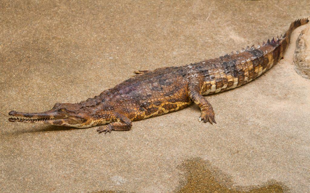 falso gavial
