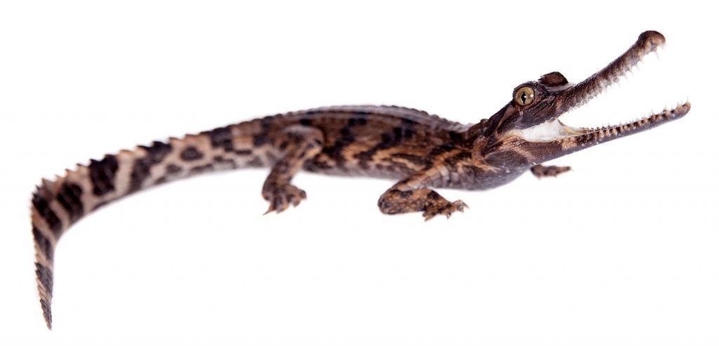 bebe de falso gavial