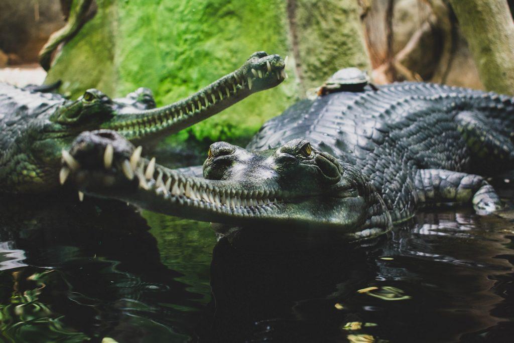 características del gavial del Ganges