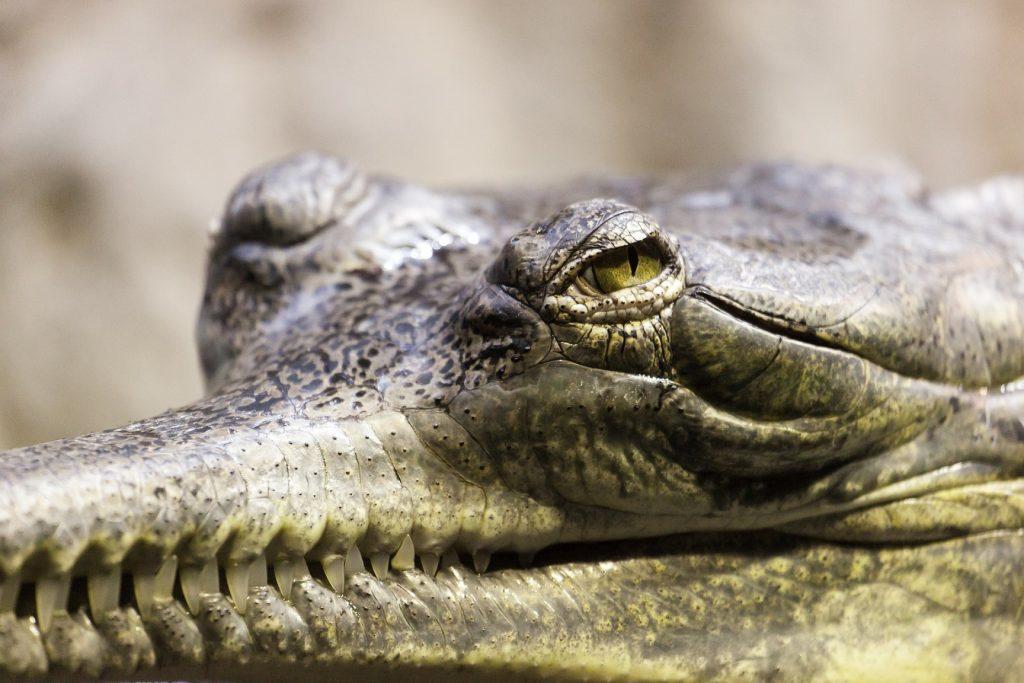 mirada desafiante de un gavial