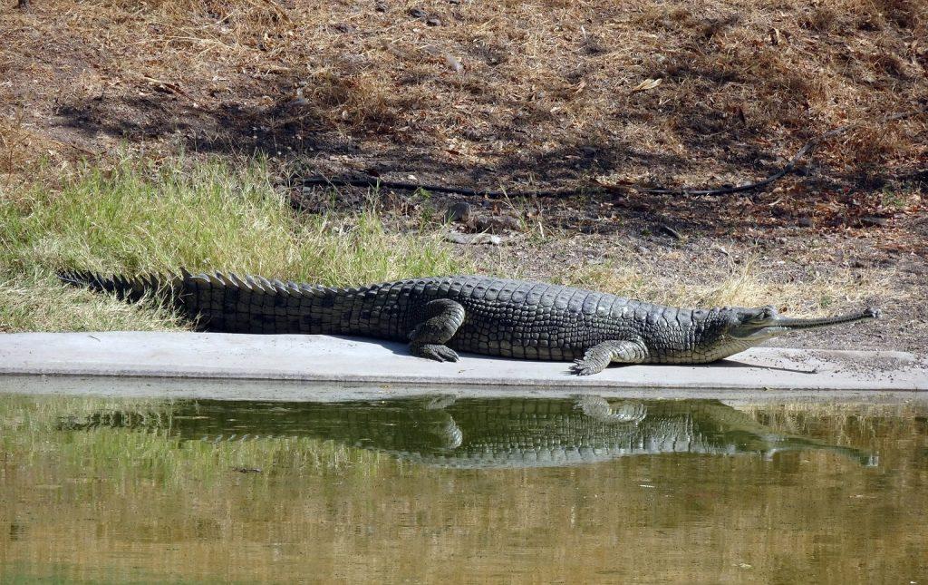 gavial indio en la orilla del un río