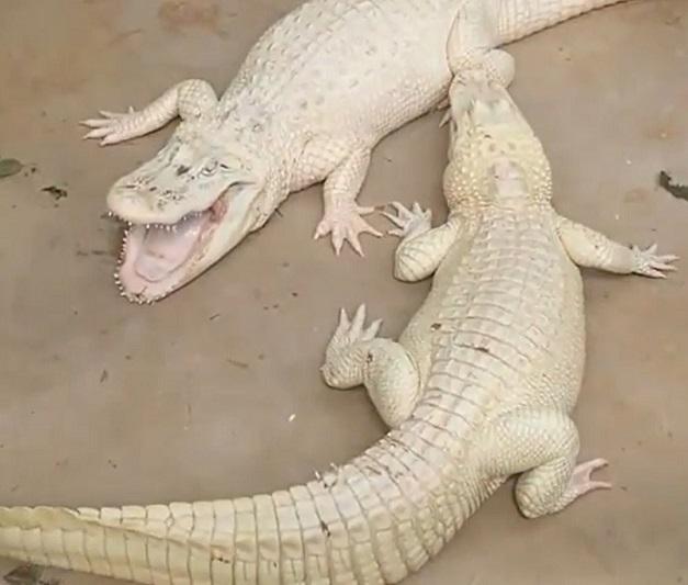 caimanes o cocodrilos blancos