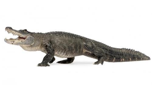 Aligátor Americano (Alligator mississippiensis)