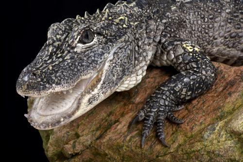 Aligátor Chino (Alligator sinensis)