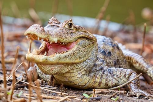 Caimán de Anteojos (Caiman crocodilus)